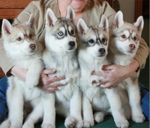 Мошенничество со щенками в Бельгии. Советы юриста.